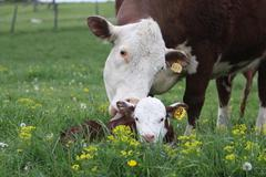 Herford cow and calf Stock Photos