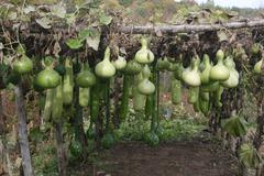 gourds\gourd trellis - stock photo