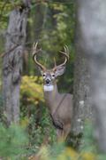 Whitetail buck Stock Photos
