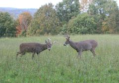 Whitetail Bucks fighting/sparing Stock Photos