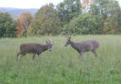 Whitetail Bucks fighting/sparing - stock photo