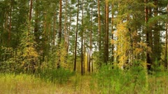 Autumn forest in yellow color. Stock Footage