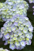 Blue hydrangea in flower Stock Photos
