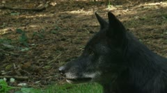 Canis lupus - grey wolf in forest close up Stock Footage
