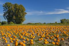 Stock Photo of Pumpkin field