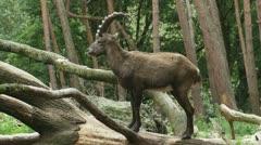 Alpine ibex looks towards camera and jumps off trunk 01p Stock Footage