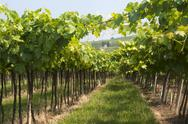 Lessinia (verona, veneto, italy), vineyards near soave at summer Stock Photos