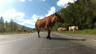 Cows on the road Stock Footage