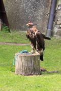 Falcon with hood - stock photo