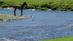 Foal in mountain river Stock Footage