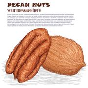 pecan nuts - stock illustration