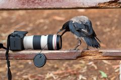 Raven and camera Stock Photos