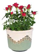 Blossoming rose plant in flowerpot Stock Photos