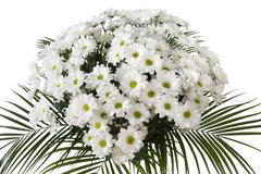 chrysanthemum maximum - stock photo