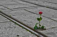 Single Rose on Tram Rails Stock Photos
