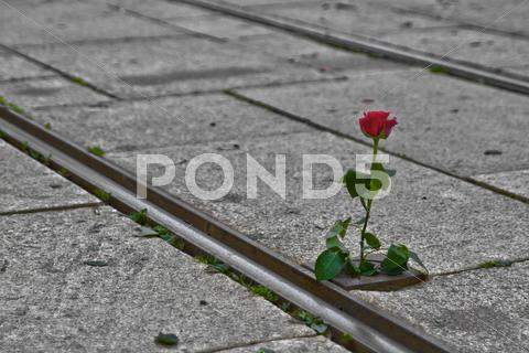 Stock photo of Single Rose on Tram Rails