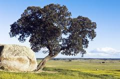 oak tree – quercus ilex - stock photo