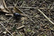Stock Photo of black beetle on forest floor