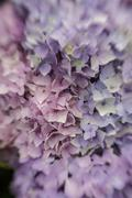 Stock Photo of abstract background of blue hydrangea