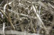 Stock Photo of little bird camouflaged in a bush