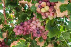 Stock Photo of wild grapes