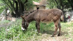 Tied up donkey grazing close up Stock Footage
