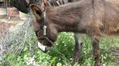 Donkey grazing tracking shot Stock Footage