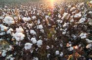 Sunlit Cotton Field Stock Photos