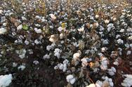 Cotton Field Bloom Stock Photos