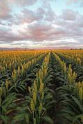 Sorghum Field Dramatic Sky Stock Photos
