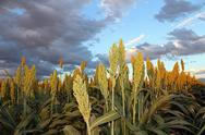 Sorghum Sunlit Stock Photos