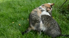 Two cats playing on garden summer grass Stock Footage