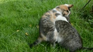 Stock Video Footage of two cats playing on garden summer grass
