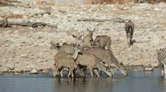 Kudu antelopes at waterhole Stock Footage