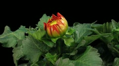 Time-lapse of blooming red dahlia 4a1 with ALPHA matte front view - stock footage