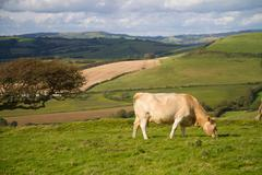 Cow grazing in Dorset countryside - stock photo