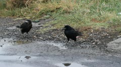 rooks who drink water at the edge of a field - stock footage