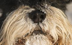 Dog's snout covered with snow Stock Photos