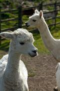 A pair of Alpacas Stock Photos