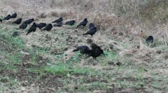 rooks resting on the ground - stock footage