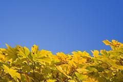 yellow autumn foliage - stock photo