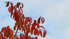 Autum leaves on a twig Stock Footage