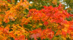 Colourful maple leaves, windy Stock Footage