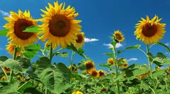 flowering sunflowers - stock footage