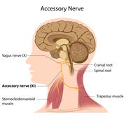 Accessory nerve, labeled Stock Illustration