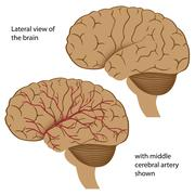 Lateral view of the brain with arteries Stock Illustration