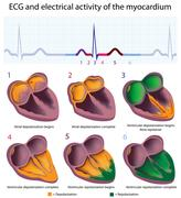 ECG and the myocardium Stock Illustration