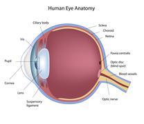 Cross section of human eye - stock illustration