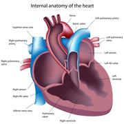 Heart cross section - stock illustration