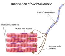 Skeletal muscle innervation Stock Illustration